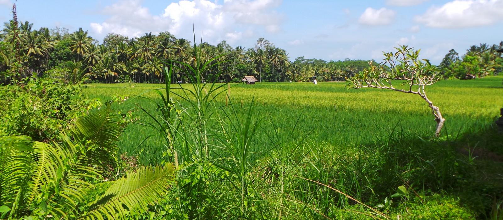"""Rice Field of Dreams"""