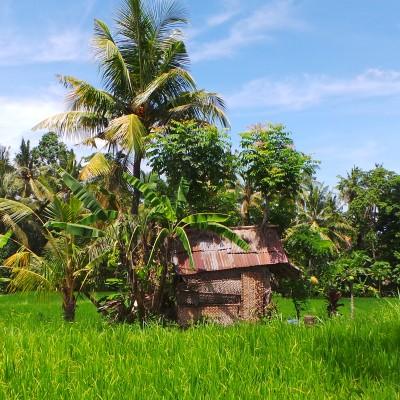 More Ubud Rice Fields